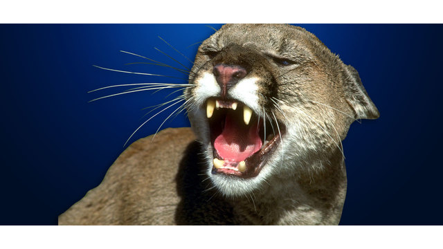 Hunt Underway For Mountain Lion Spotted In Rapid City