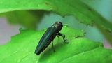 Experts: Wisconsin's Extreme Cold Can Kill Emerald Ash Borer