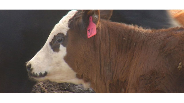More Cases Of Anthrax Confirmed In South Dakota Livestock